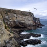 The cliffs at the Royal Albatross colony