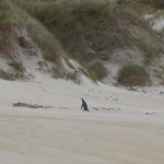 A little yellow-eyed penguin crossing the beach in front of us