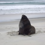 The regal Sea Lion that attacked us