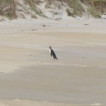 The little penguin scampering up Sandfly Beach