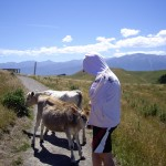 The cows blocking our path on the Kaikoura Peninsula Walkway
