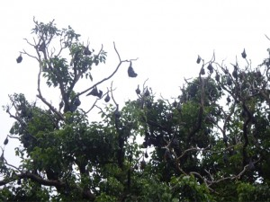 Bats hanging upside-down in tress in the Botanical Gardens
