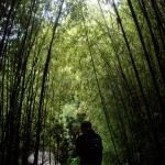 Bamboo forest in the Chinese Gardens