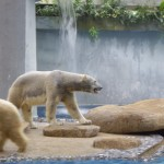 Polar bears in Singapore? We're 100km from the equator! There's nothing polar about that!