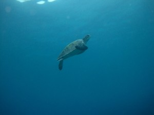 A turtle swimming to the surface