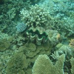 A giant clam.  This guy was probably 1.2 meters long.