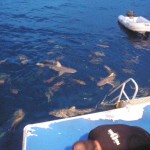 Feeding the reef sharks off the back of the boat