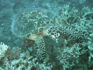 A sea turtle at the Great Barrier Reef