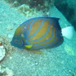 An angelfish