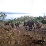 This herd of water buffalo blocked our path on the motorbike